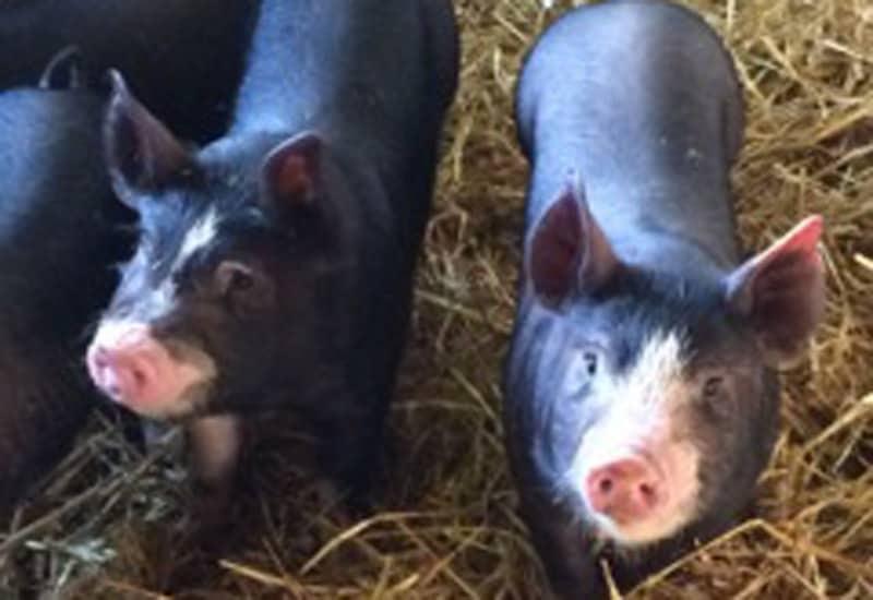 Berkshire Pigs at Brownscombe Luxury Glamping UK farm