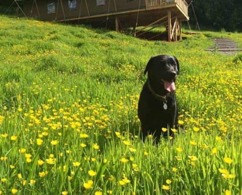 Dog friendly safari tents at Brownscombe in Devon UK