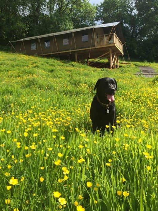 Dog friendly safari tents at Brownscombe in Devon UK