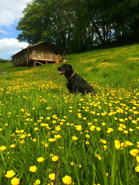 A dog enjoying the freedom of the meadow, dogs are welcome at Brownscombe