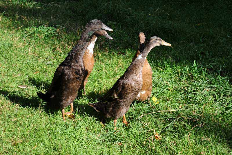 Runner ducks at Brownscombe