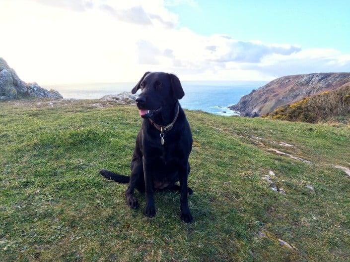 Dog having a rest on Devon's coast path