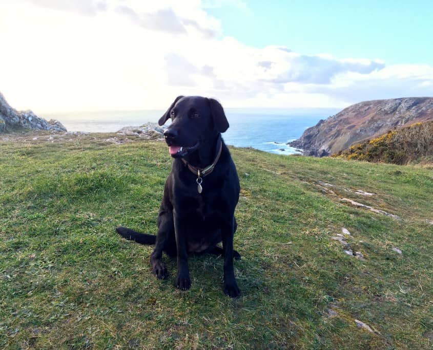 Dog having a rest on Devon's coast path