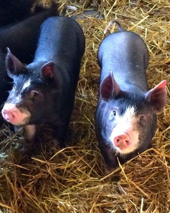 Pigs in Devon