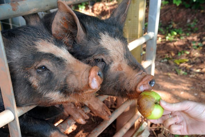 Feeding the pigs at Brownscombe